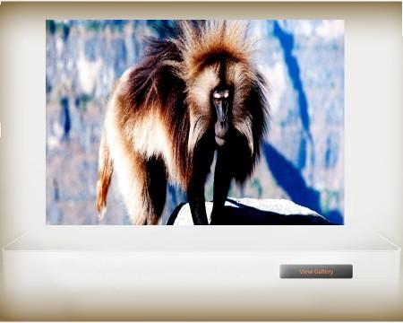 Chilada baboon