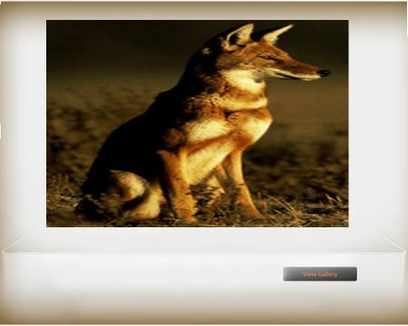 Ethiopian endemic wild animal -- Semien Fox